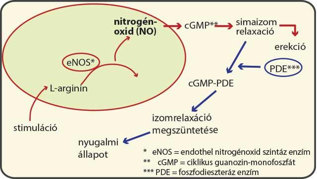 Az erekció biológiája | nlc