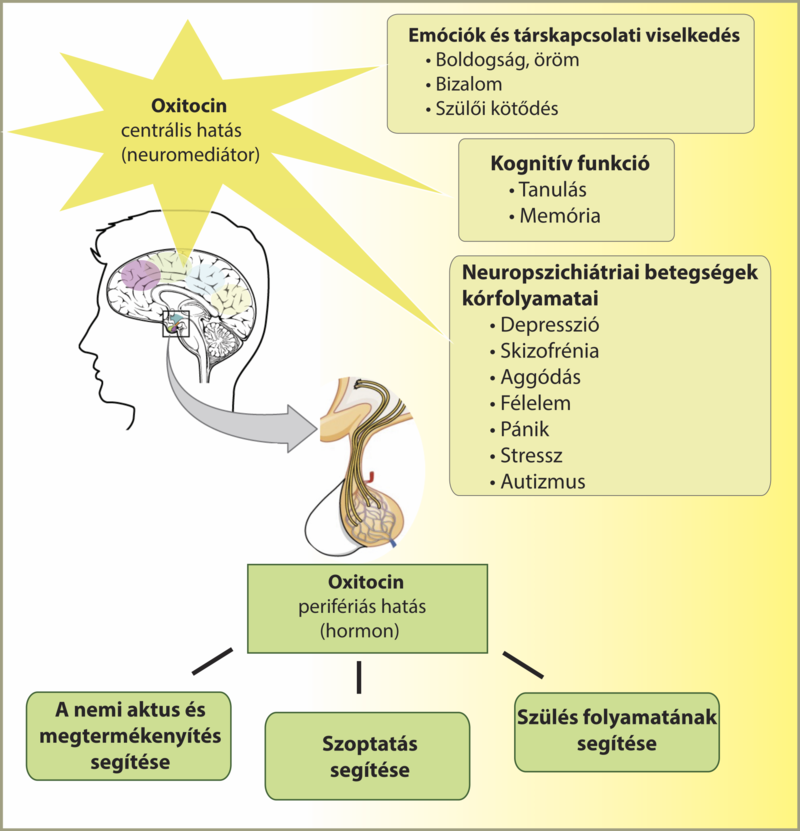 pénisznagyobbító hormonok