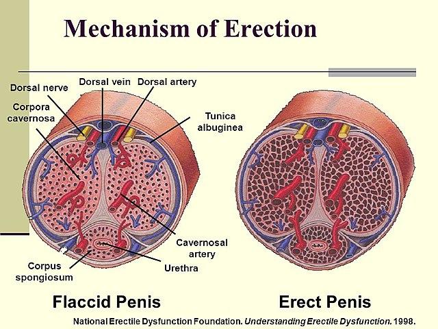 Az erekció visszafogására, Egy férfinak több pénise van