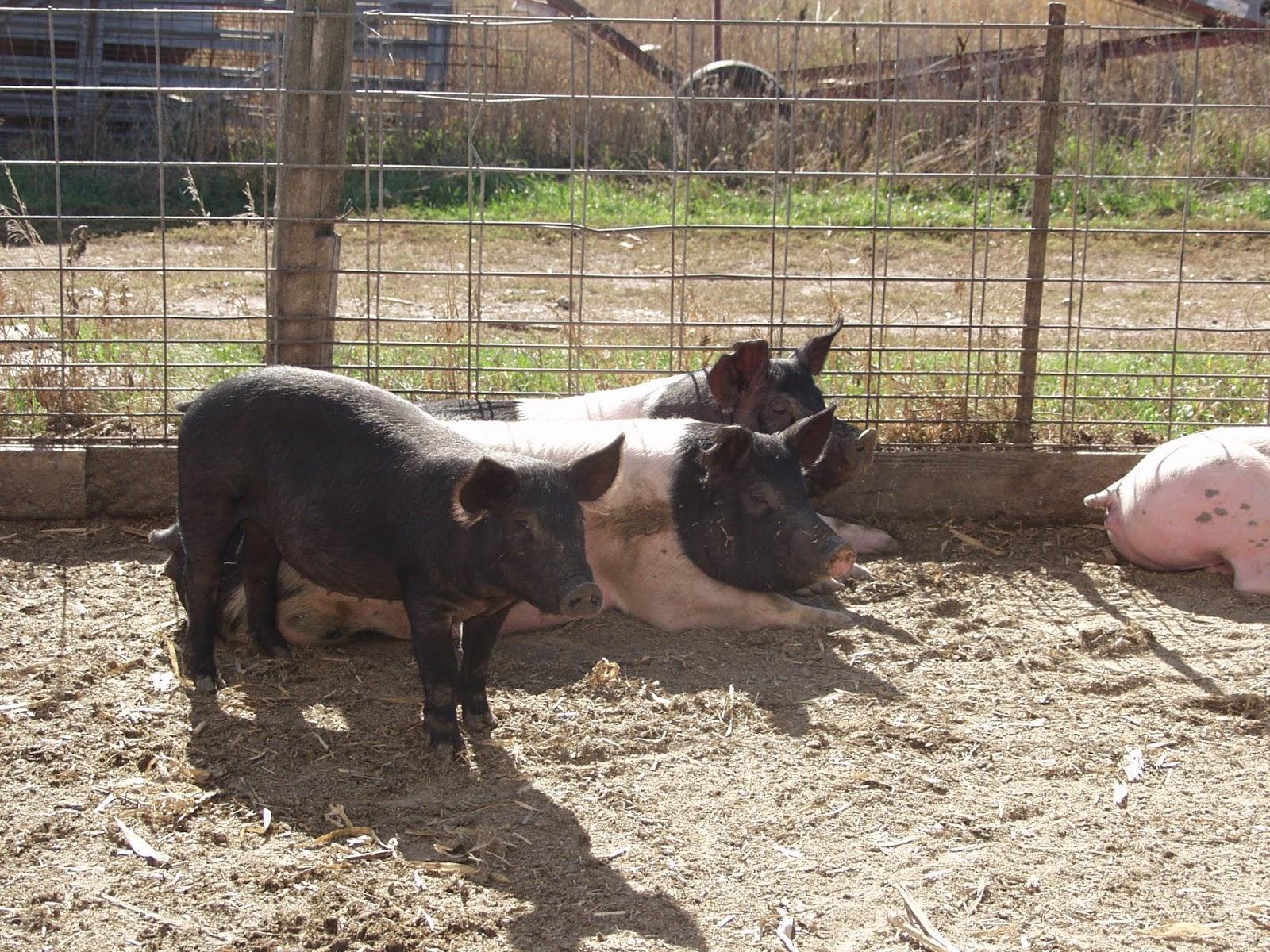 porc van a péniszben