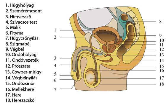 Húgycső fejlődési rendellenesség, húgycsőhasadék