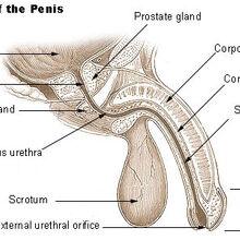 miért nem kap egy pénisz egy fiatalember)