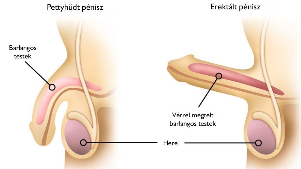 a férfiak erekciójának mértéke