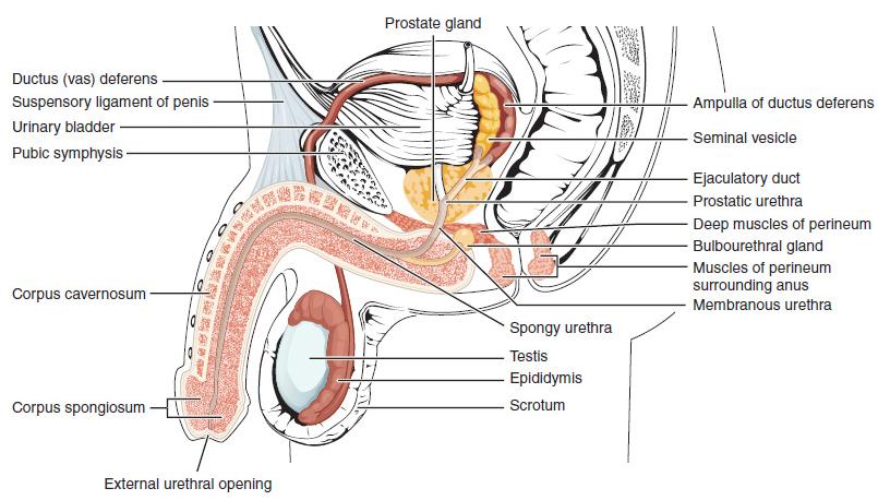 a pénisz tövénél vékony