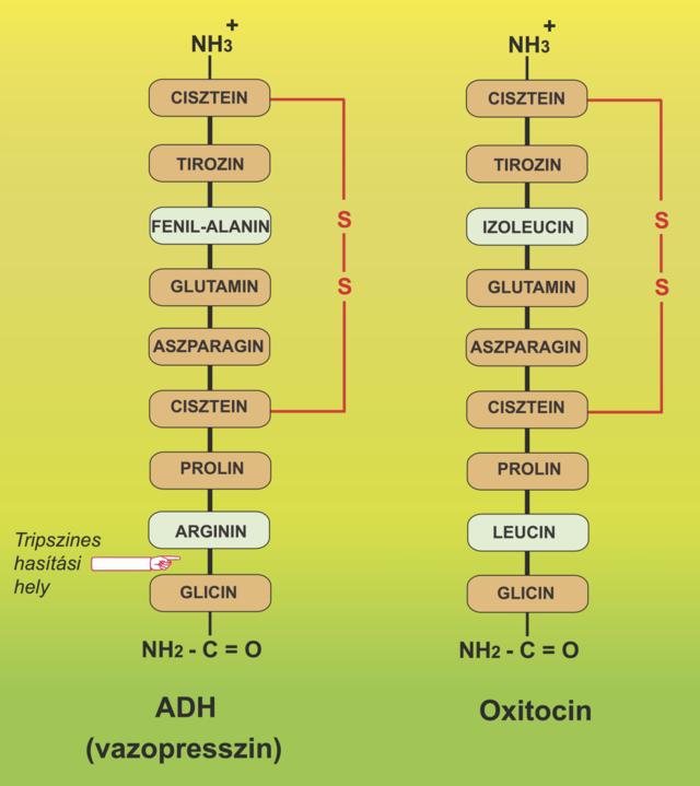 Venotonikus erekció - Egy kis anatómia és a fejlődés okai