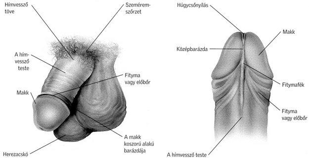 a pénisz izgatásának szakaszai készítsen házi péniszt