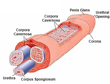 péniszbőr az erekció során)