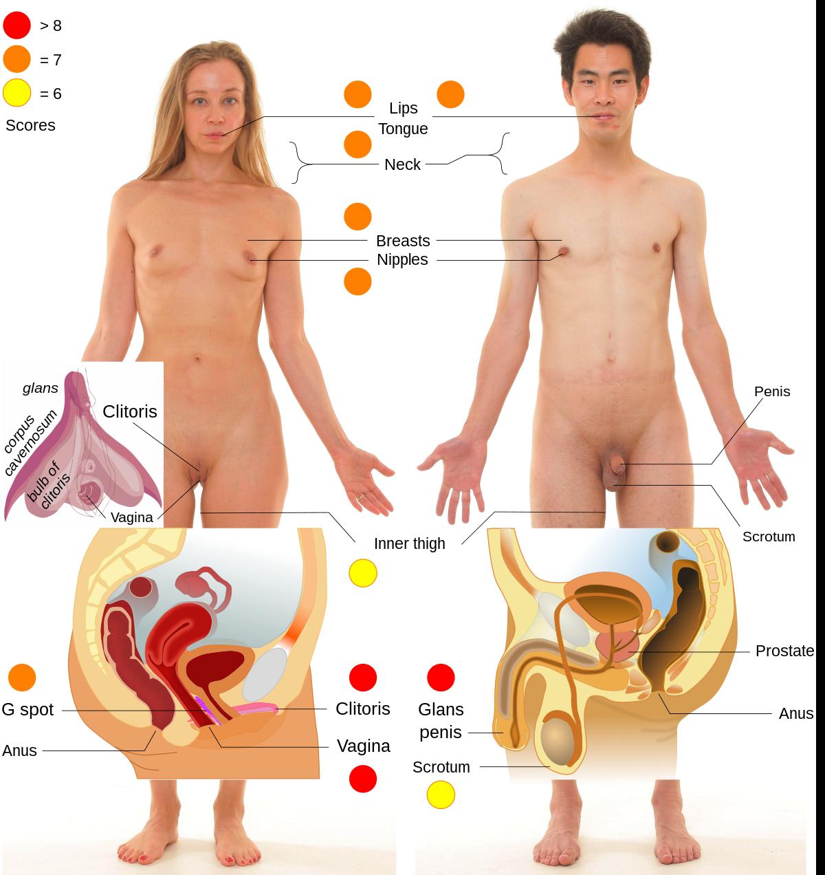 pénisz és erogén