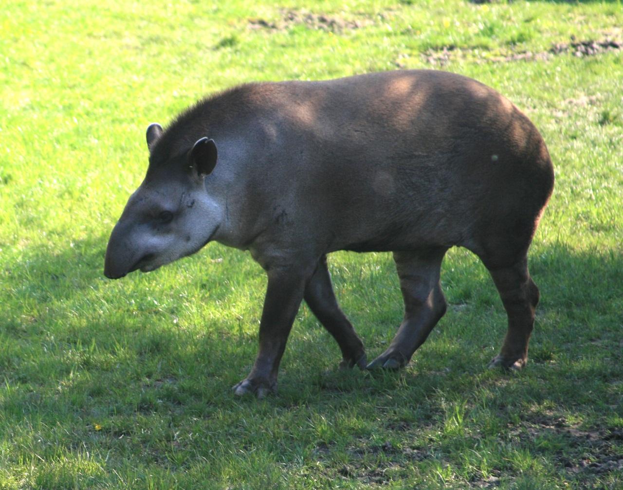 pénisz tapírokban