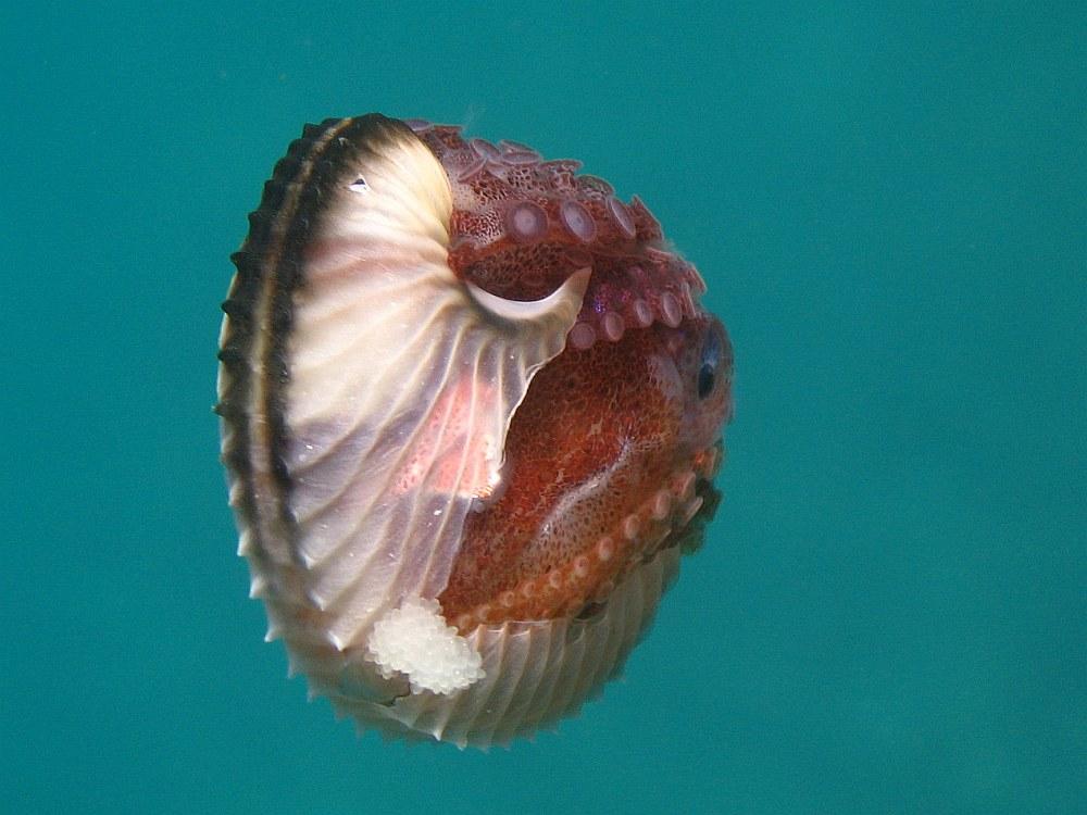 Lecsatolható, négyfejű, tüskés – A legfurább péniszek az állatvilágból