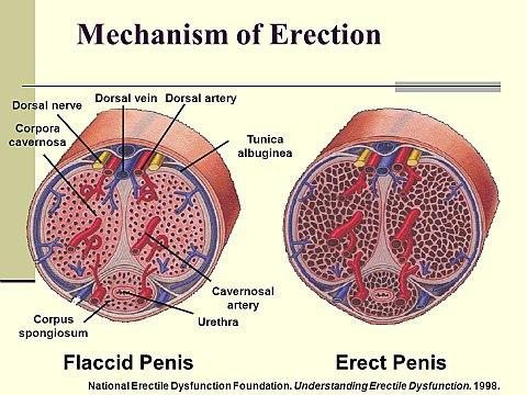 erekció Cooney alatt